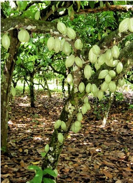 http://benihperkebunan.com/images/kakao-hasfarm-2.jpeg