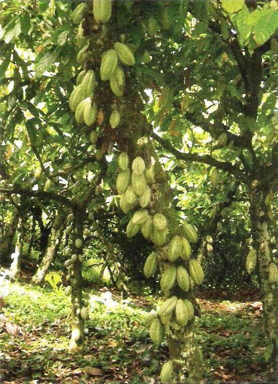 http://benihperkebunan.com/images/kakao-hasfarm-3.jpeg